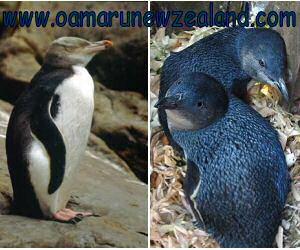 Oamaru Penguins